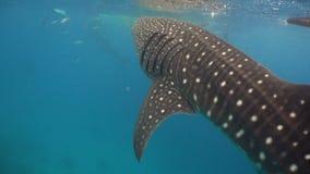 Tiburón de ballena en el océano almacen de video