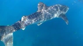 Tiburón de ballena, isla de Cebú, filipina fotos de archivo