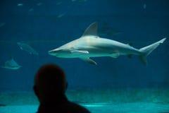 Tiburón de banco de arena (plumbeus del Carcharhinus) Imagen de archivo libre de regalías