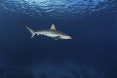 Tiburón de caballa Fotografía de archivo libre de regalías