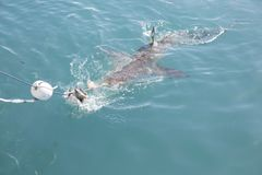 Tiburón de cobre que persigue cebo cerca de jaula del tiburón imágenes de archivo libres de regalías