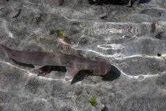 Tiburón de Crusing Fotos de archivo libres de regalías