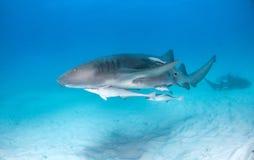 Tiburón de enfermera en las Bahamas imágenes de archivo libres de regalías
