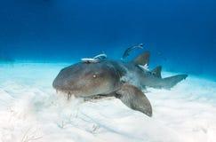 Tiburón de enfermera en las Bahamas fotos de archivo libres de regalías