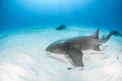 Tiburón de enfermera en las Bahamas fotos de archivo