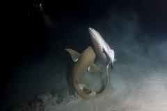 Tiburón de enfermera que se acopla en Maldivas Foto de archivo