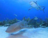 Tiburón de enfermera y tiburón del Caribe del filón Imagen de archivo