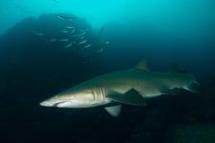 Tiburón de Grey Nurse fotos de archivo