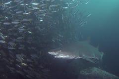 Tiburón de Grey Nurse imagenes de archivo