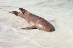 Tiburón de Hammerhead fotografía de archivo