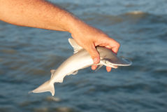 Tiburón de Hammerhead del bebé que es lanzado después de captura imagen de archivo