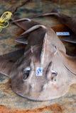 Tiburón de la guitarra de la boca del arco Fotografía de archivo libre de regalías