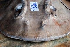 Tiburón de la guitarra de la boca del arco Imagen de archivo libre de regalías