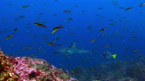 Tiburón de las Islas Galápagos en fondo de la escuela asombrosa de los pescados subacuáticos en el fondo del mar metrajes