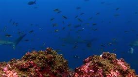 Tiburón de las Islas Galápagos en fondo de la escuela asombrosa de los pescados subacuáticos en el fondo del mar almacen de video
