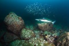 Tiburón de las lijas espinosas y manada de la fritada de pescados Fotos de archivo libres de regalías