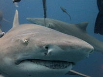 Tiburón de limón Fotos de archivo libres de regalías
