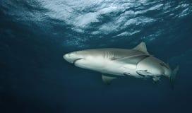 Tiburón de limón de debajo Fotografía de archivo