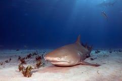 Tiburón de limón de reclinación fotografía de archivo