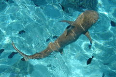 Tiburón de limón, Polinesia francesa Fotos de archivo libres de regalías