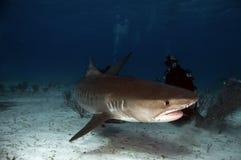 Tiburón de tigre Fotografía de archivo