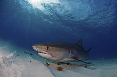 Tiburón de tigre foto de archivo