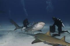 Tiburón de tigre Imagen de archivo
