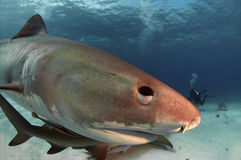 Tiburón de tigre Fotos de archivo libres de regalías