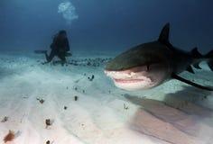 Tiburón de tigre Imagen de archivo libre de regalías