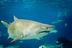 Tiburón de tigre de arena (tauro del Carcharias) Foto de archivo libre de regalías