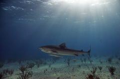 Tiburón de tigre en el Shallows imágenes de archivo libres de regalías