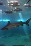 Tiburón de tigre y Trevelly gigante Imagenes de archivo
