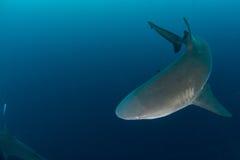 Tiburón de toro gigante imagen de archivo libre de regalías