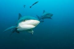 Tiburón de toro gigante imagen de archivo