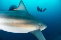 Tiburón de toro gigante imágenes de archivo libres de regalías