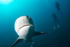 Tiburón de toro gigante fotos de archivo