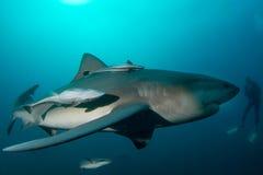 Tiburón de toro gigante fotografía de archivo