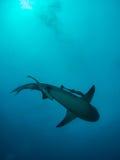 Tiburón de toro gigante imagenes de archivo