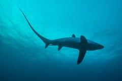 Tiburón de trilladora foto de archivo