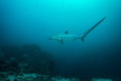 Tiburón de trilladora fotografía de archivo