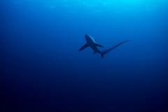 Tiburón de trilladora común fotografía de archivo
