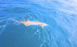 Tiburón de trilladora en Diego Garcia imagenes de archivo