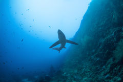 Tiburón de trilladora grande Fotos de archivo libres de regalías
