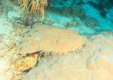 Tiburón de Wobbegong foto de archivo libre de regalías