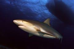 Tiburón del Caribe del filón Foto de archivo libre de regalías