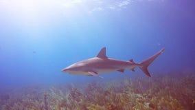 Tiburón del Caribe del filón en Jardin de la Reina, Cuba almacen de video