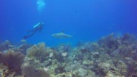 Tiburón del Caribe del filón en Jardin de la Reina, Cuba metrajes