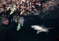 Tiburón del Caribe del filón en cueva imagen de archivo libre de regalías
