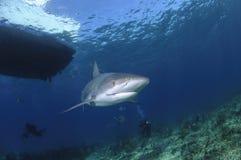 Tiburón del Caribe del filón que nada solamente en el agua abierta de Bahamas imagen de archivo