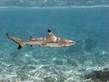 Tiburón del filón de Blacktip Imagen de archivo libre de regalías